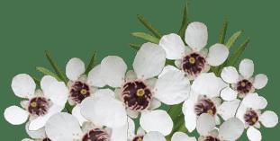 TranzAlpine Manuka Honey flower footer 311x157